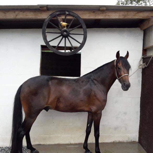 Cavalo marcha picada top - Foto 3