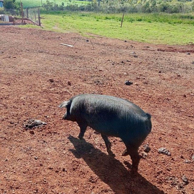 Porco kg - Foto 3