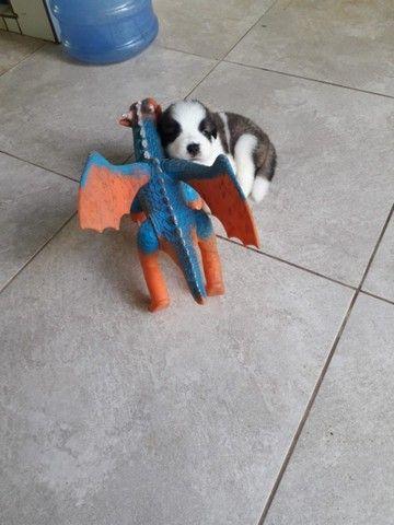 Cachorra são Bernado prucuro namorado;) - Foto 2