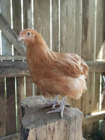 Orpington amarelo. Galinhas de boa postura carne e ornamental - Foto 4