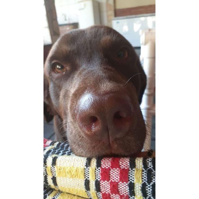 Labrador procurando uma Fêmea para namorar  - Foto 2