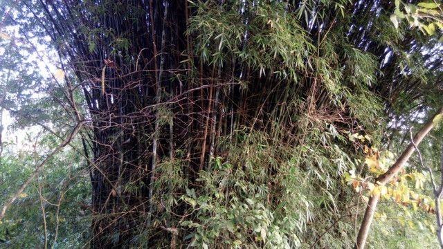 Vendo moitas de bambum