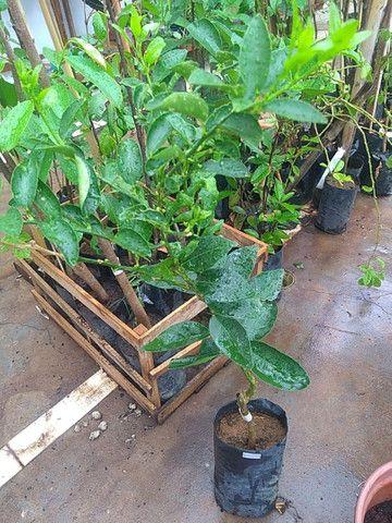 Mudas frutíferas enxertadas  - Foto 4