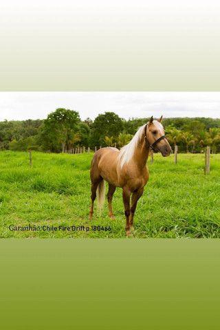 Égua quarto de milha sem registro parida(leia o anúncio) - Foto 6