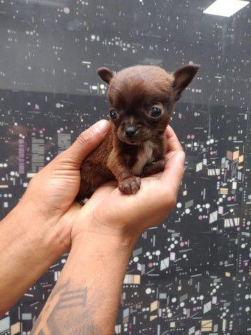 Chihuahua - pelo curto Macho e Fêmea