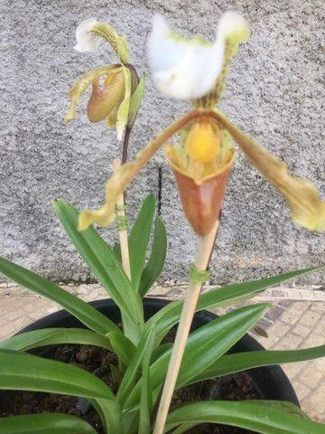 Coleção de Orquídeas - Foto 5