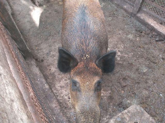 Casal de porco javali - Foto 2
