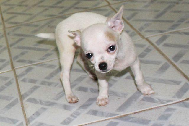 Chihuahua machos. linagem puro