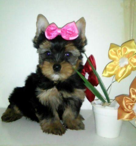 Yorkshire Terrier, fêmea linda Parcelo no cartão