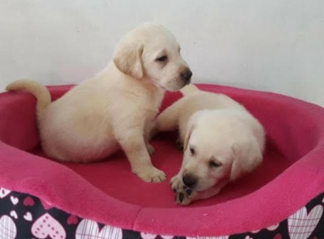 Labrador entrega grátis