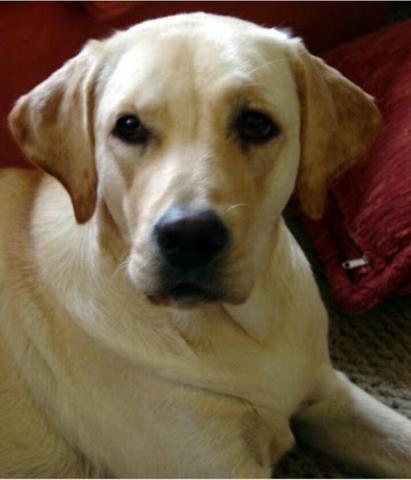 Filhote de Labrador de 1,500 por menos de 100R$