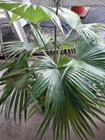 Sementes de palmeira  - Foto 2