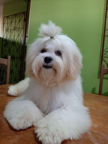 Procuro fêmea Shitzu+Poodle, Shihpoo.  - Foto 3