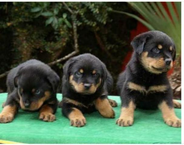 Rottweiler puro entrega grátis