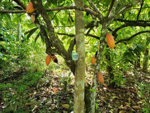 Ibirapitanga. Fazenda pequena com área de 12 ha - Foto 14
