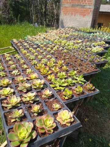 Suculentas e cactus - Foto 4