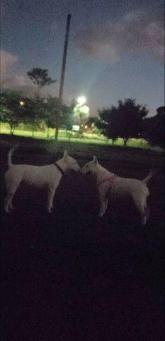 Filhotes de Bull Terrier  - Foto 6