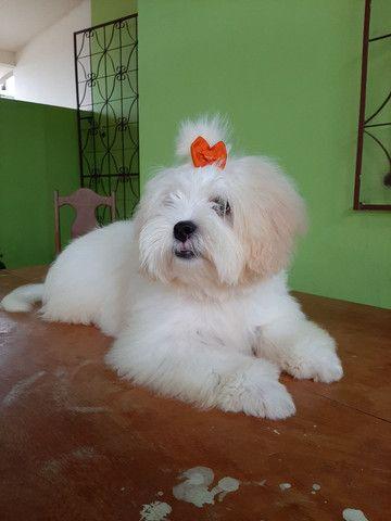 Procuro fêmea Shitzu+Poodle, Shihpoo.  - Foto 2