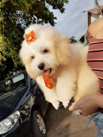 Procuro fêmea Shitzu+Poodle, Shihpoo.