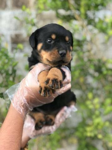 Rottweiler - FIlhotes Machos e Fêmeas