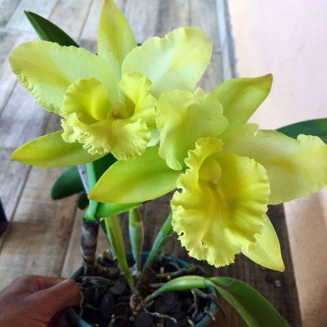 Coleção de Orquídeas - Foto 2