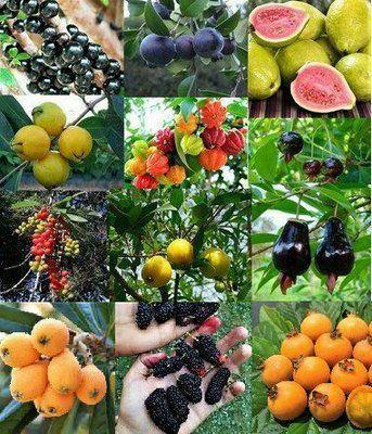 Mudas enxertadas de frutíferas em geral