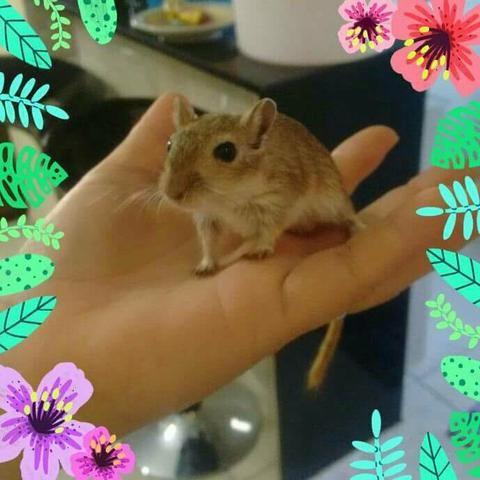 Gerbil (esquilo da magnólia)
