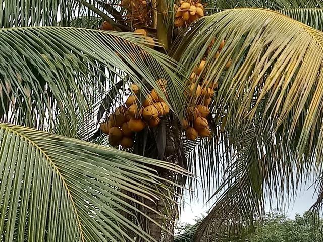 Vendo coco - Foto 2
