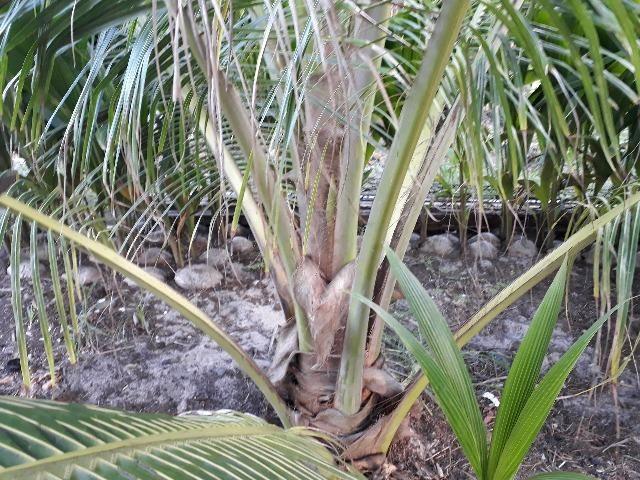 Cocô anam rasteiro ( cachos de Coco no chão) - Foto 2