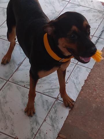 Cachorra hotweile c/8 meses contato - Foto 3