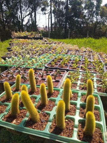 Suculentas e cactus - Foto 5