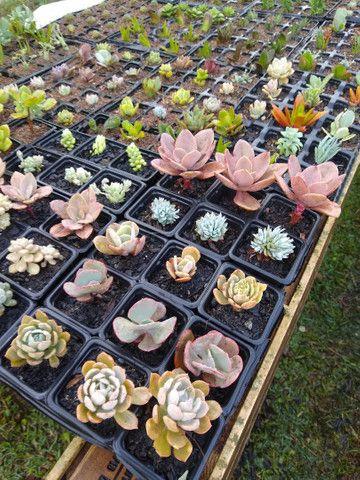 Suculentas e cactus