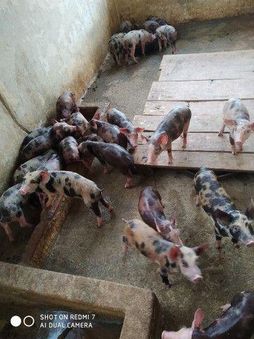 Porco  - Foto 4