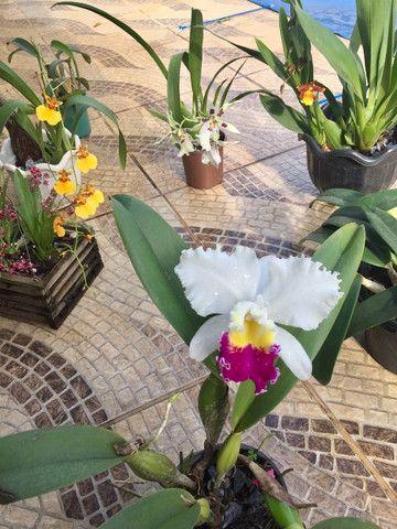 Coleção de Orquídeas - Foto 6