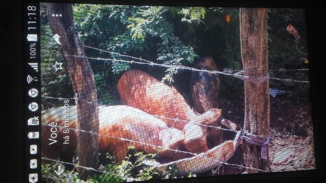 Vendo porco caipira - Foto 3