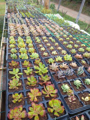 Suculentas e cactus - Foto 2