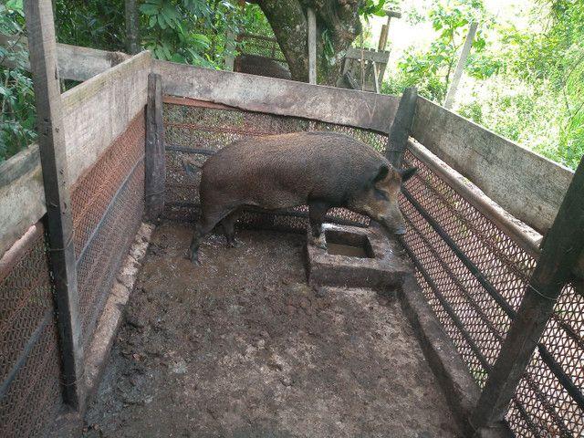 Casal de porco javali - Foto 5