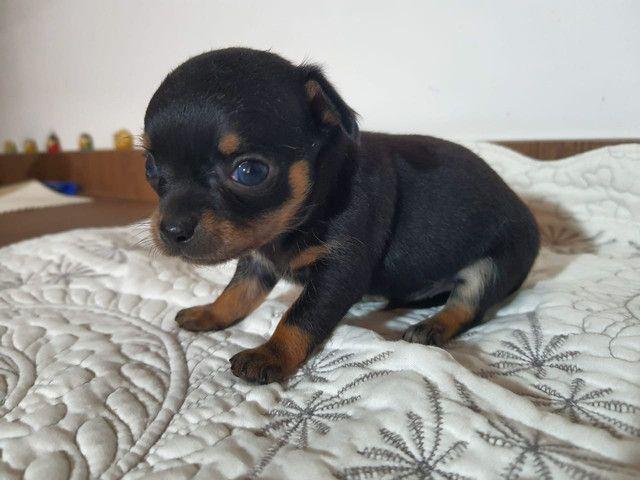 Filhotes de Chihuahua Macho  - Foto 3