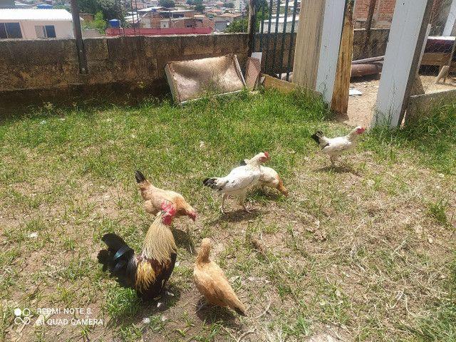 Vendo galinze macho