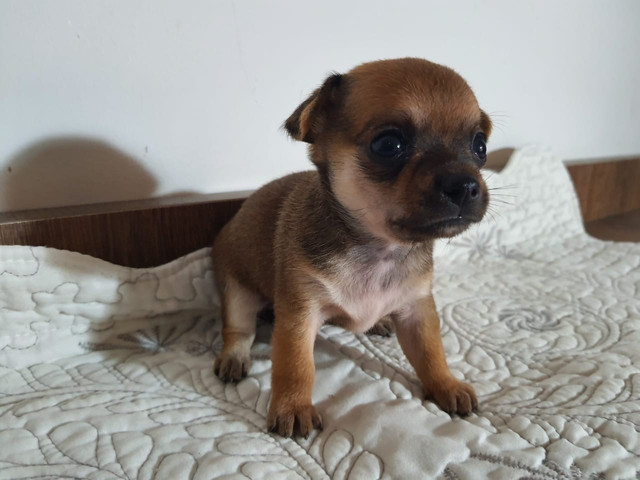 Filhotes de Chihuahua Macho  - Foto 2