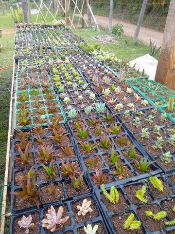 Suculentas e cactus - Foto 3