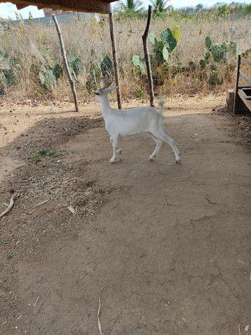 Duas cabra amojada - Foto 2