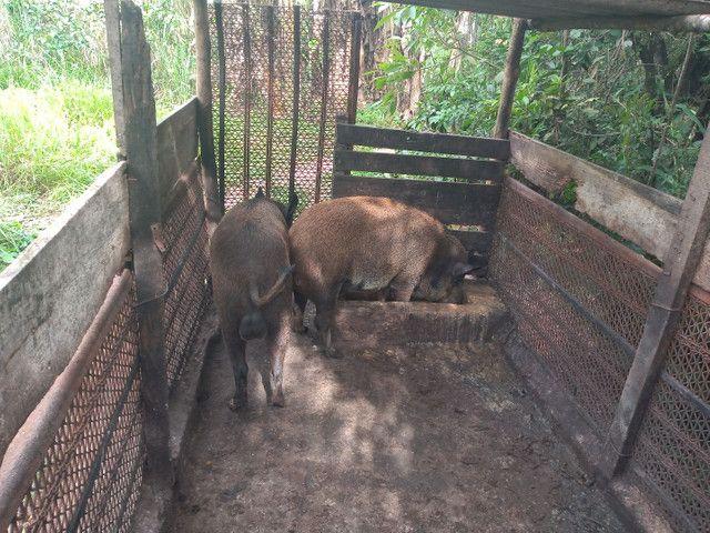 Casal de porco javali - Foto 4