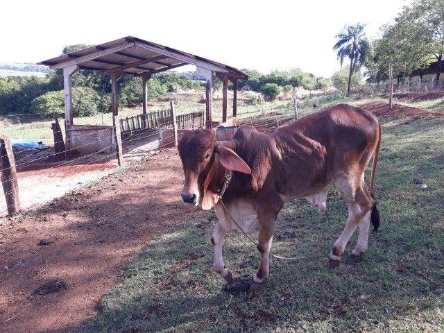 Vendo touro. - Foto 5