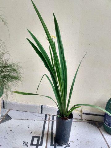 Vendendo muda dessa linda planta  - Foto 4