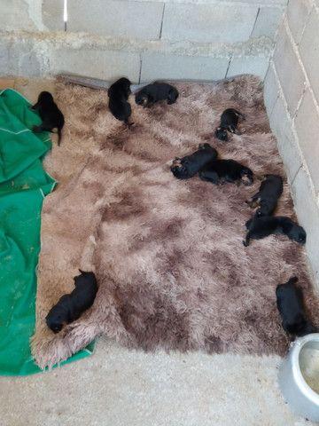 Vendo filhotes de cachorro da Raça Rottweiler. - Foto 6