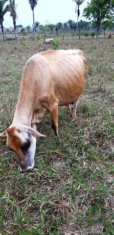 Vende Se 5 Vacas Leiteira  Jersey - Foto 2