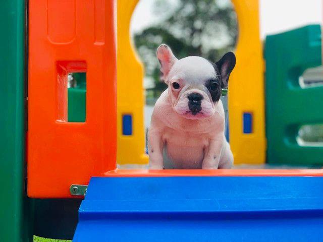 Fêmea de Bulldog Francês - Para quem busca qualidade! - Foto 4