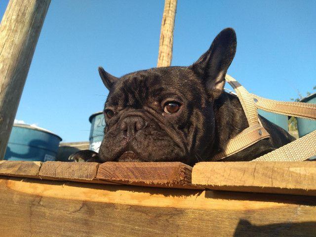 Bulldog francês para cobertura - Foto 4