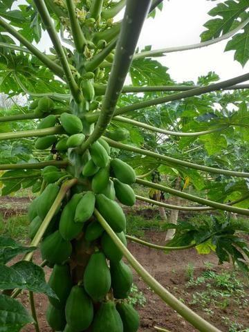 Frutas - Foto 3